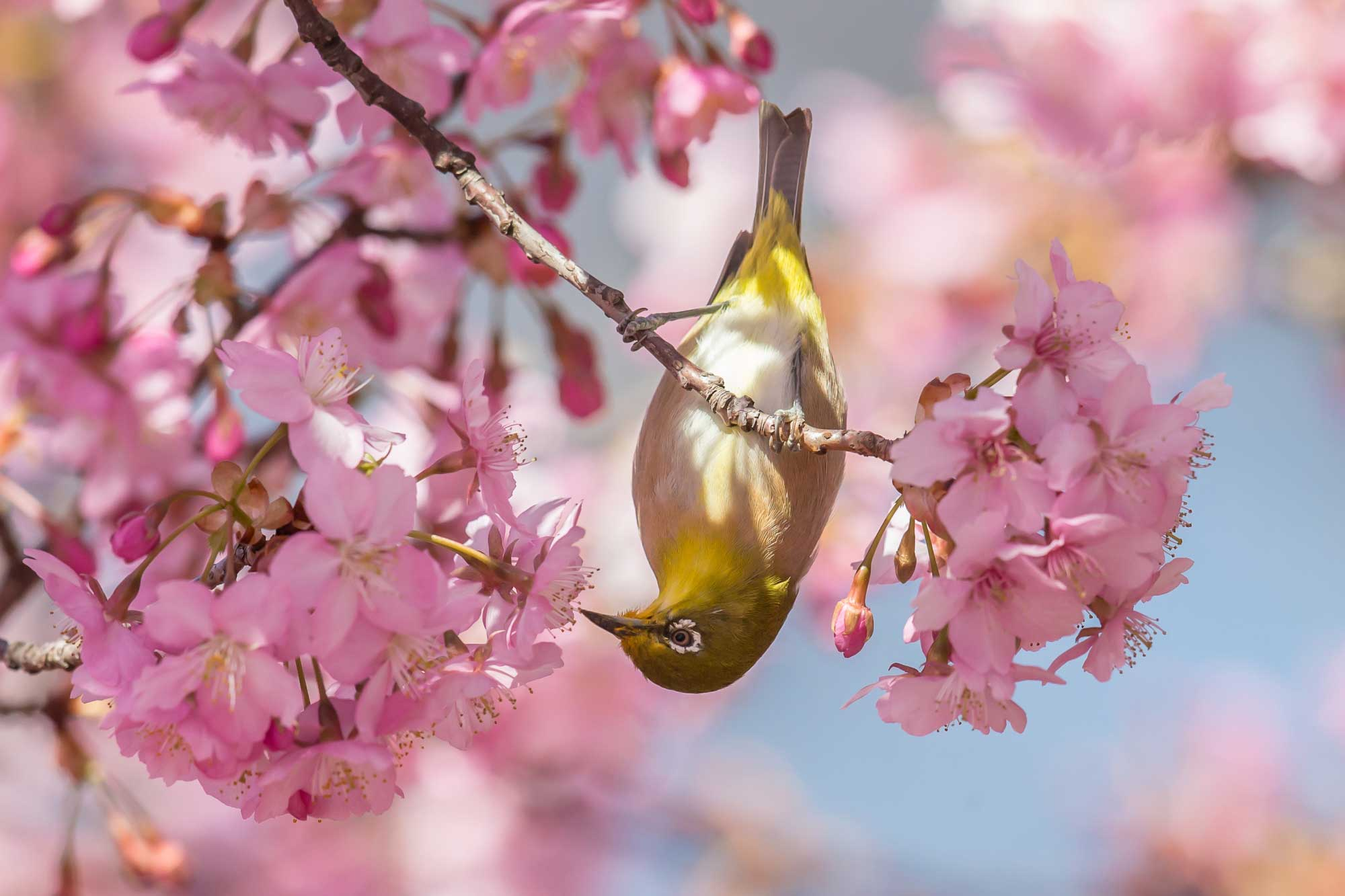 Cherry blossoms and a Japanese White-eyes