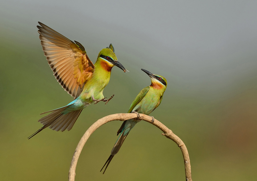 Blue Tailed bee Eater Landing