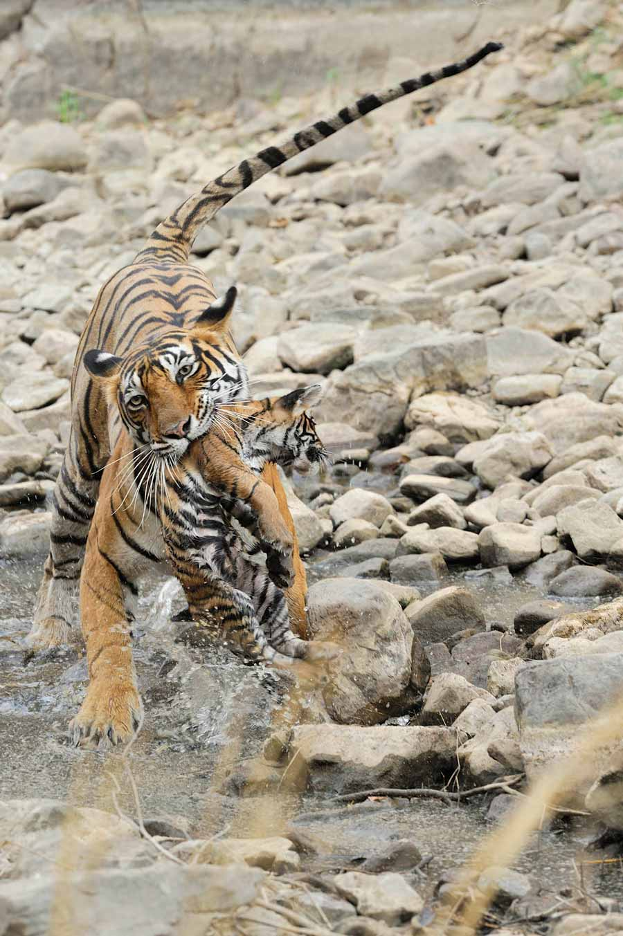 Tigress Slips While Carrying her Cub